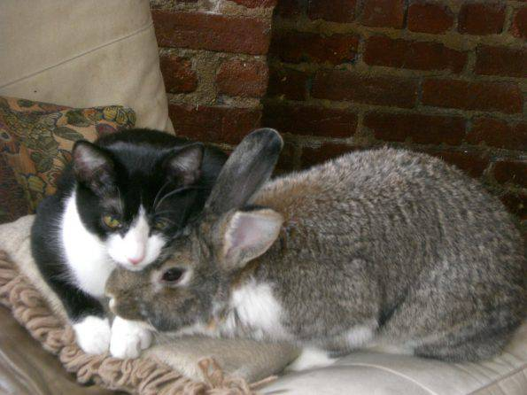 Cat_and_rabbit_cuddling